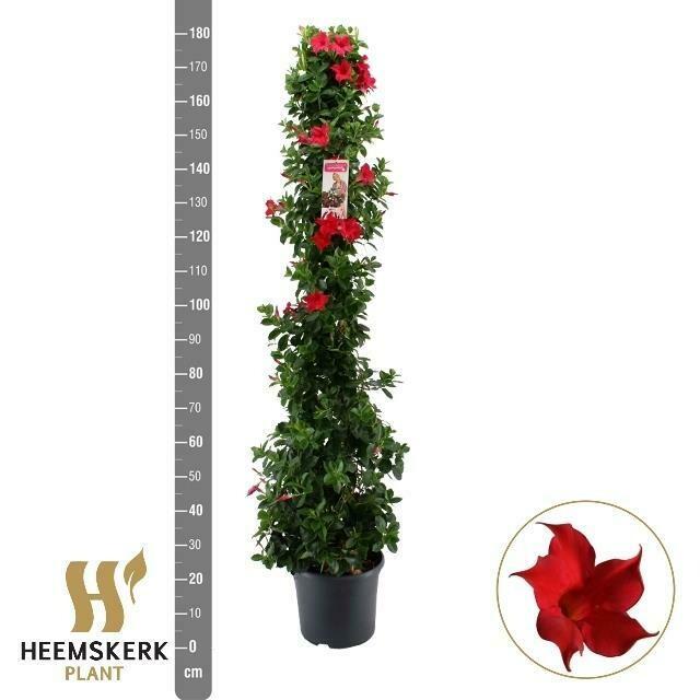Mandeville rood  pot 27 h 1.6m
