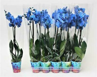 Orchidee Blauw 2tak pot 12 cm h 65cm