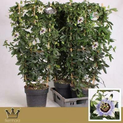Passiflora Groot pot 23cm h 80cm