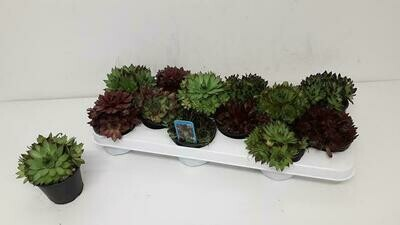 Sempervivum set van 12 stuks pot 9cm