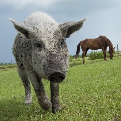 Pork Boston Butt Roast (Average 3lbs. @ $10.50/lb.)