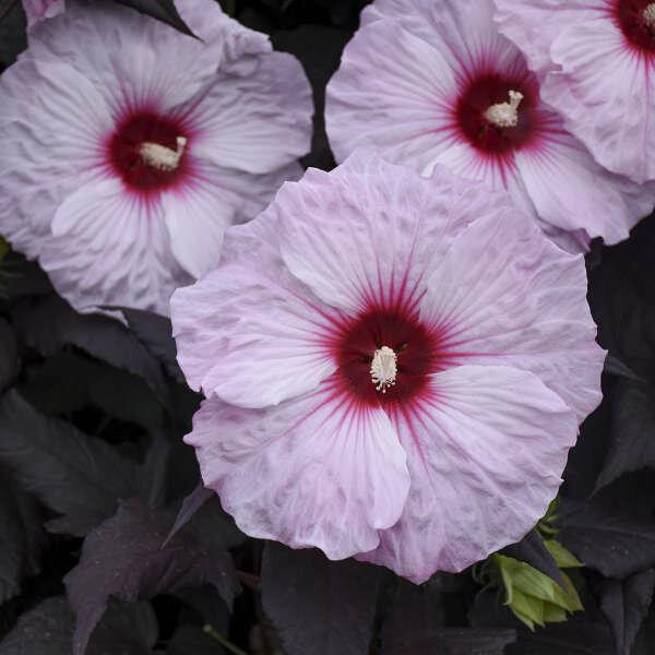 Hibiscus Dark Mystery