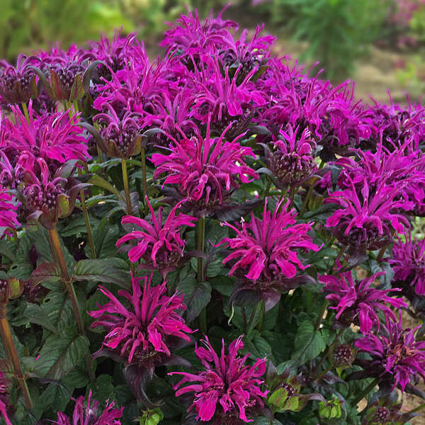 Monarda Sugar Buzz Rockin Raspberry