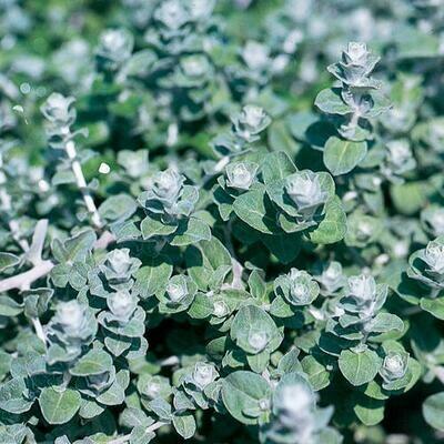 Petite Licorice Helichrysum