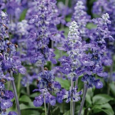 Unplugged So Blue Salvia