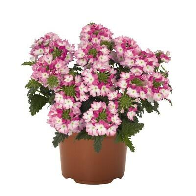 Wicked Hot Pink Verbena