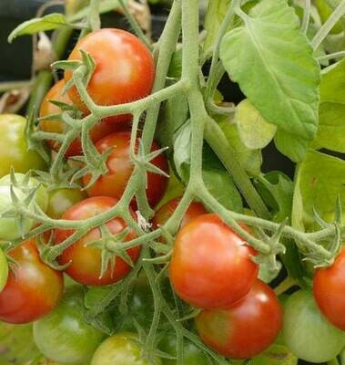 Tumbler (Cherry Tomato) - XL Plant In 1gal Pot