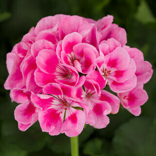 Light Pink Splash Geranium