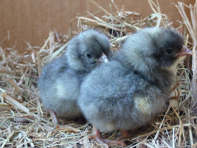Blue Plymouth Rock FEMALE chicks. 6/25/20 hatch date.