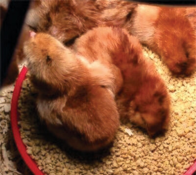 Rhode Island Red Chicks. Hatched 5/6/20 STRAIGHT RUN