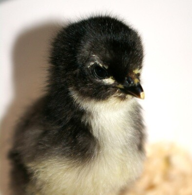 Australorp. Hatched June 11th. FEMALE 6/25/2020