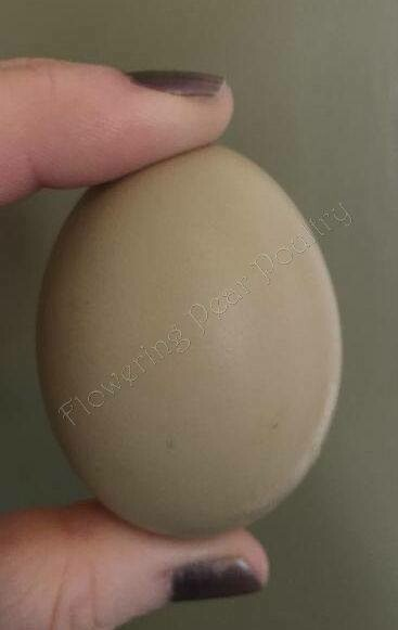 Olive Egger. Hatch due June 18th. FEMALE 6/18/2020