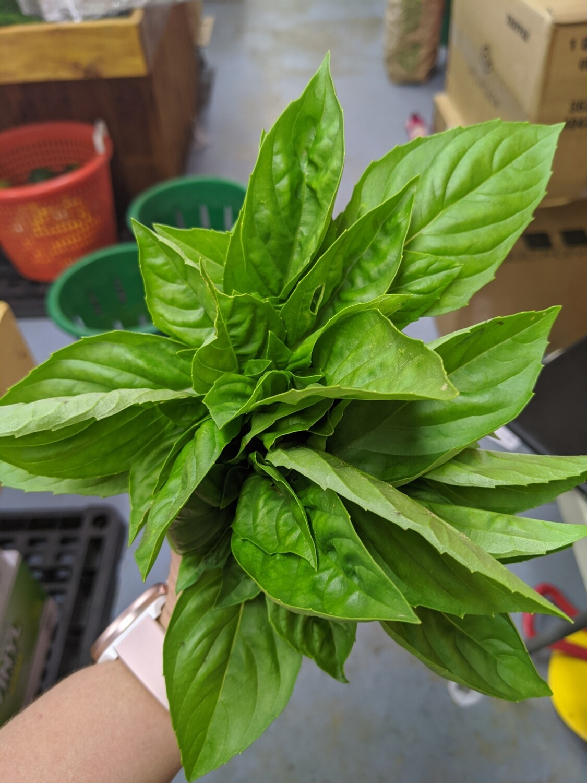 Herbs-Basil, bunch, Hlubik's