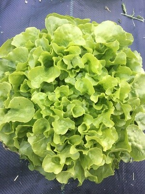 Fresh Salad Mix from Eat Dirt Farm