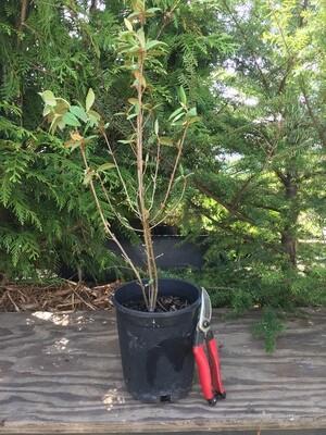 Shepherdia canadensis - Russet Buffaloberry