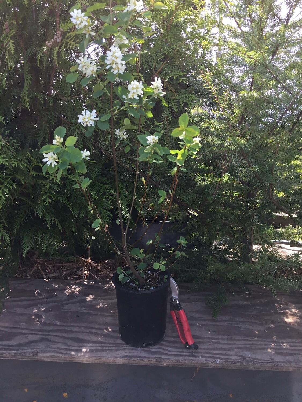 Amelanchier alnifolia - Serviceberry