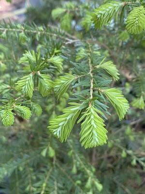 Tsuga heterophylla - Western Hemlock