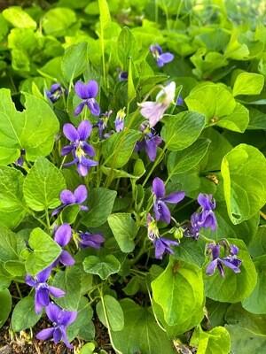 Viola adunca - Hookedspur Violet