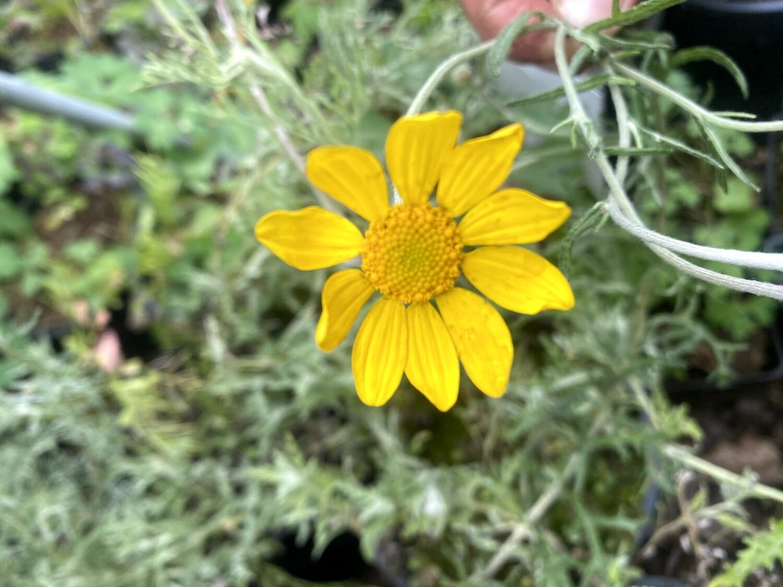 Eriophyllum lanatum - Woolly Sunflower