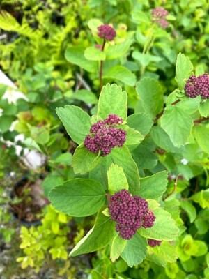 Spiraea densiflora - Rose Meadowsweet