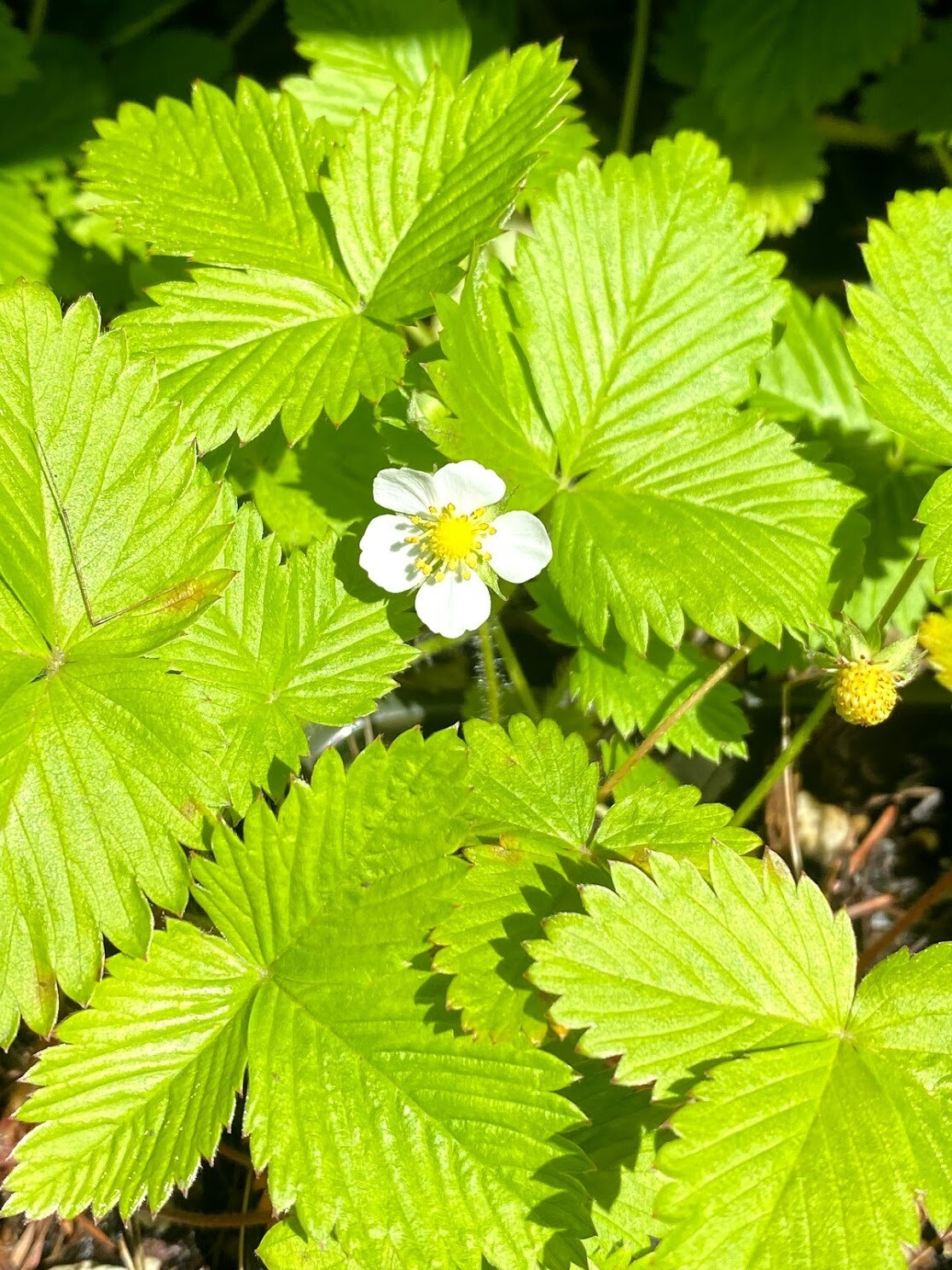 Fragaria vesca - Woodland Strawberry