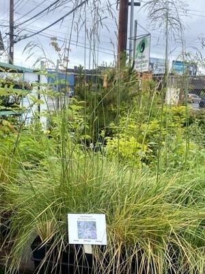 Deschampsia cespitosa - Tufted Hairgrass