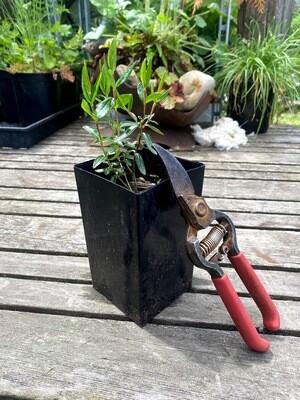 Kalmia polifolia ssp. occidentalis - Western Swap Laurel