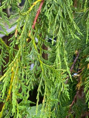 Cupressus nootkatensis - Alaskan Cedar
