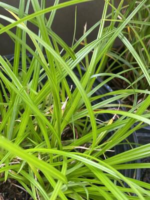 Carex obnupta - Slough Sedge