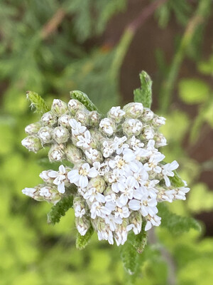 Achillea millefolium - Common Yarrow