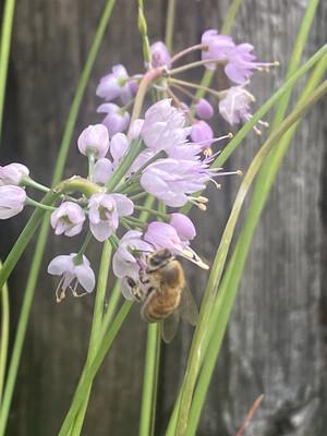Allium cernuum - Nodding Onion