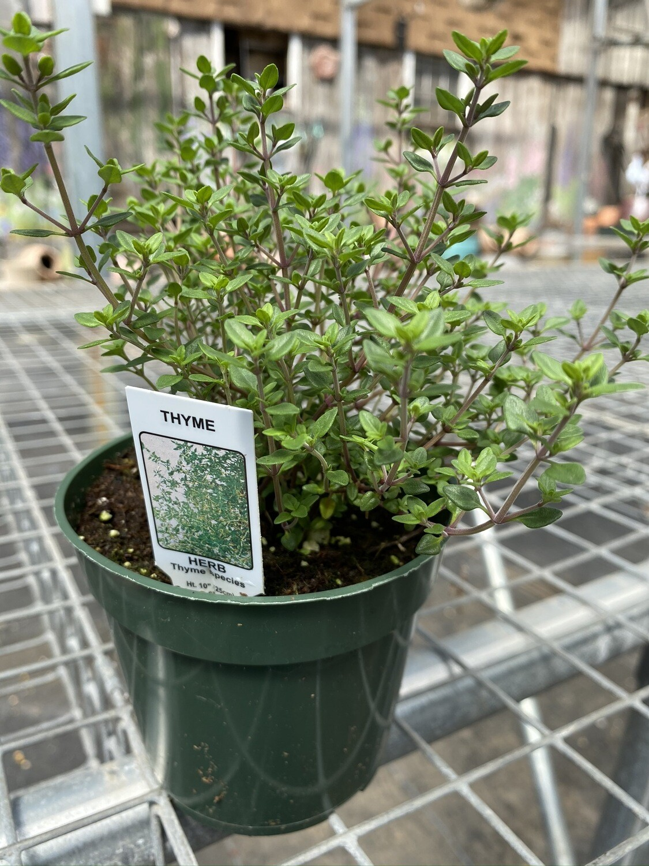 Herb | Thyme, English | Pint