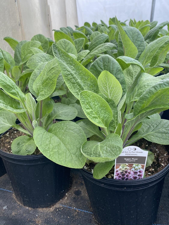 Perennial   Digitalis Foxglove 'sugar plum'