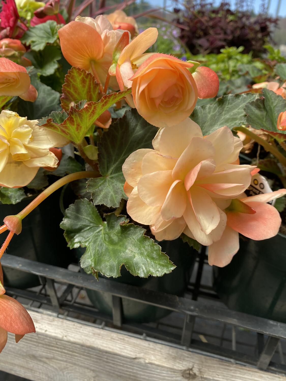 Annual   Begonia 'Esmay Peach'   6