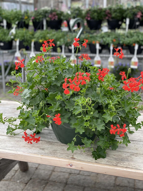 Hanging Basket | Red Ivy Geranium | 12