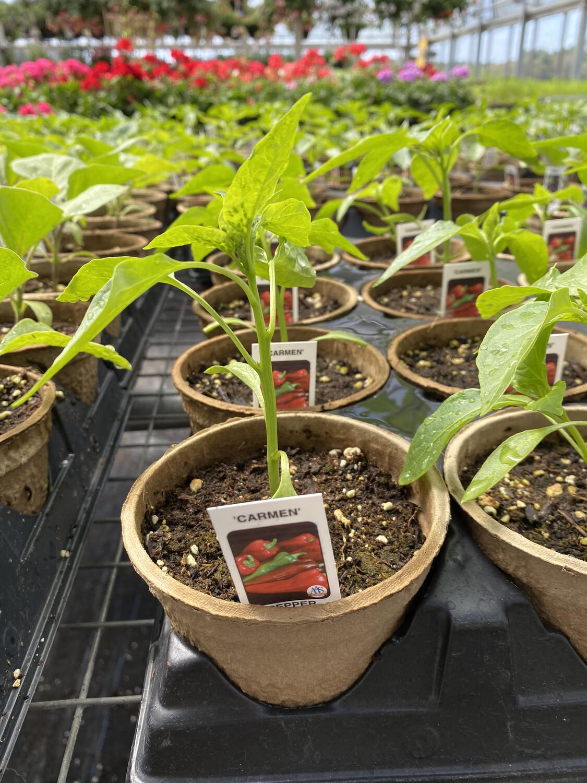 Vegetable Starter | Carmen Pepper | 4