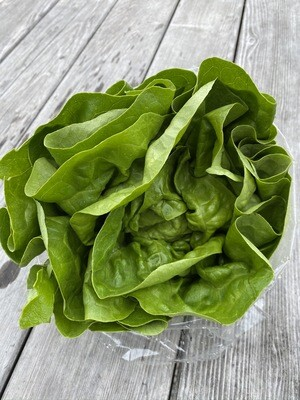 Green Butter Leaf Lettuce | Tangerini's Own