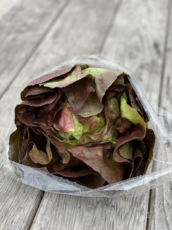 Red Butter Leaf Lettuce Head | Tangerini's Own