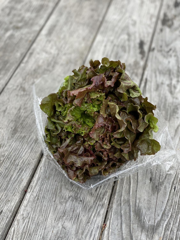 Red Leaf Lettuce Head | Tangerini's Own
