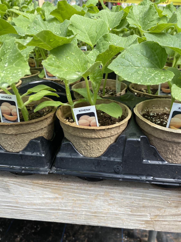 Vegetable Starter | Cantaloupe | 4