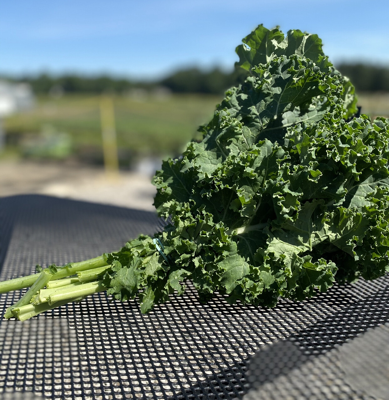 Kale | 1 Bunch | Tangerini's Own