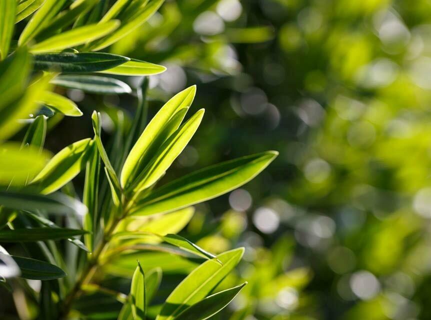 Tea Tree Essential Oil 10ml (Australia)