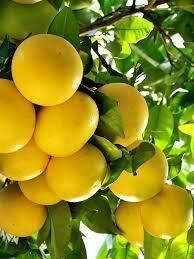 Grapefruit Essential Oil 5ml (Florida)