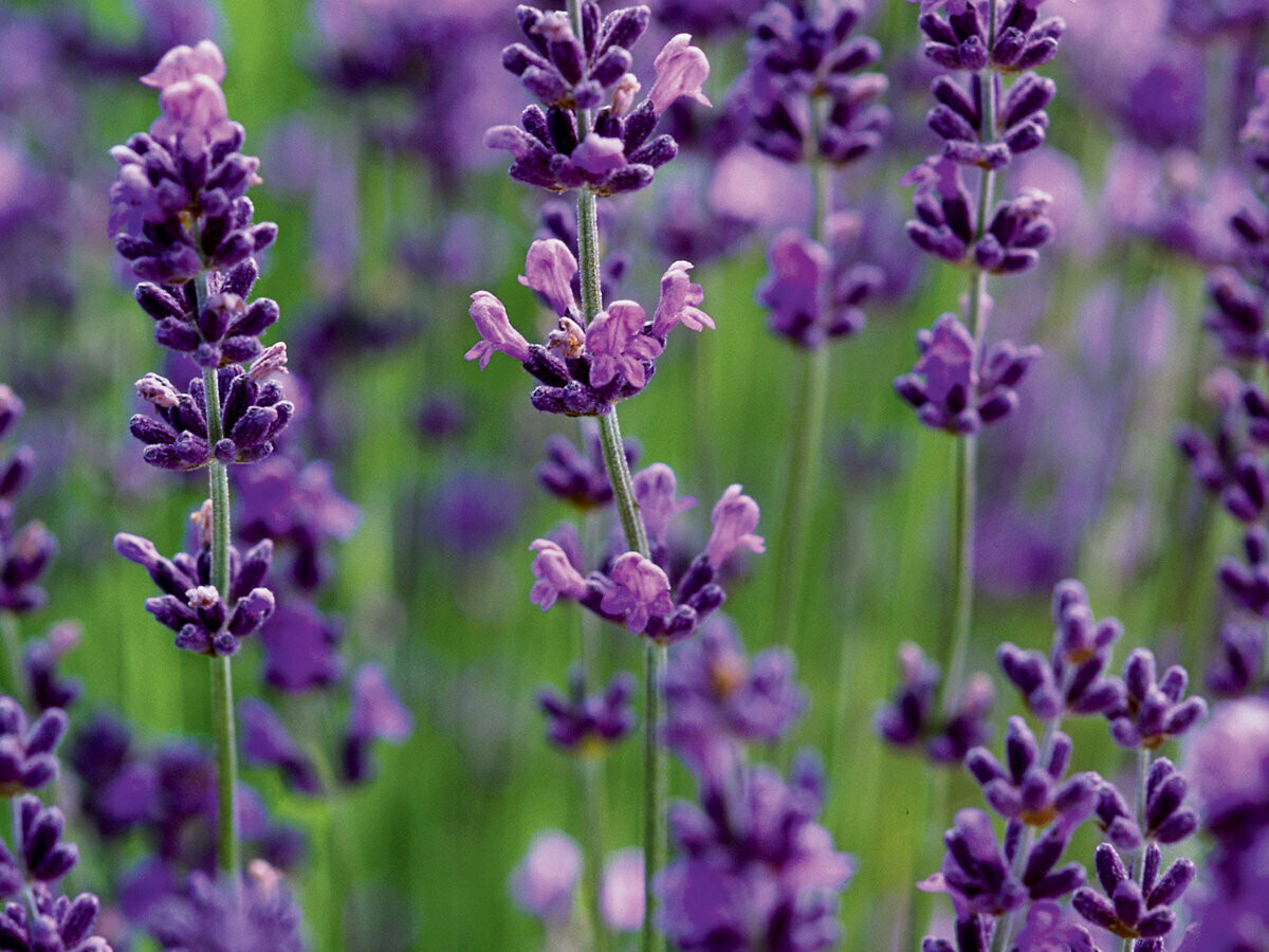 Lavender French 40/42 5ml