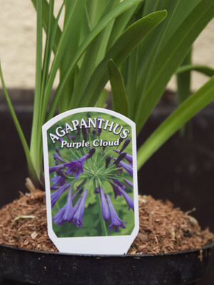 Agapanthus Purple Cloud 'African Lilly'