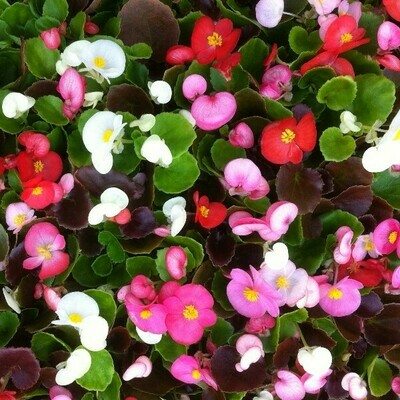 Begonias (fibrous rooted)