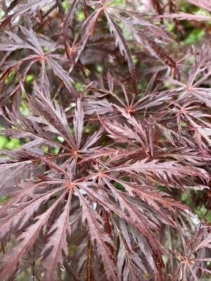 Acer Dissectum Atropurpureum Garnet 3l