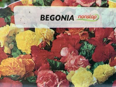 Begonias Nonstop