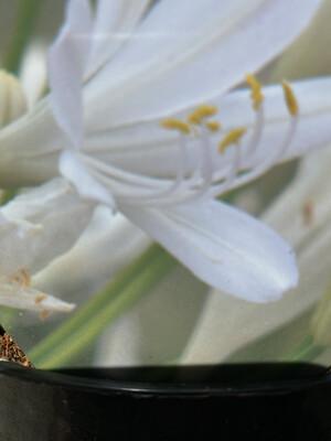 Agapanthus Bridal Bouquet