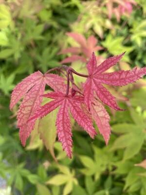 Acer Palmatum Osakazuki 10l